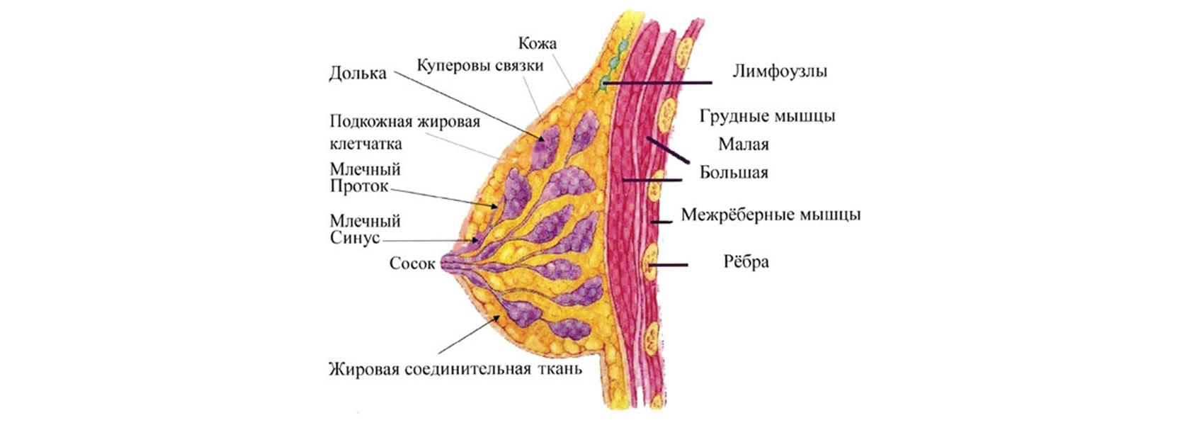 Строение молочной железы женщины картинка